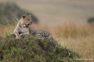 Leopard (Panthera pardus) on termite mound, Masai Mara National Reserve, Kenya, 2
