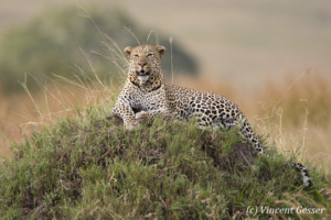 Leopard (Panthera pardus) on termite mound, Masai Mara National Reserve, Kenya, 3