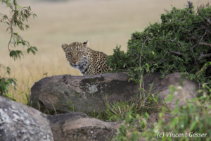 Leopard (Panthera pardus) looking from behind a bush, Masai Mara National Reserve, Kenya