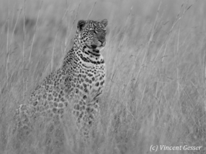 Leopard (Panthera pardus) sitting and watching, Masai Mara National Reserve, Kenya, 2