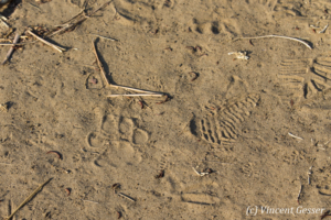 Leopard (Panthera) paw print in ground of Mana Pools NP, Zimbabwe
