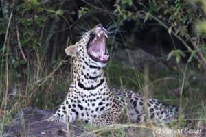 Leopard (Panthera pardus) laying in grass and yawning, Masai Mara National Reserve, Kenya
