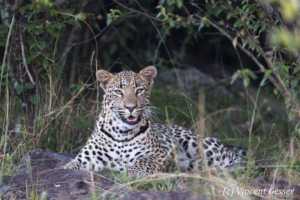 Leopard (Panthera pardus) laying in grass and observing, Masai Mara National Reserve, Kenya