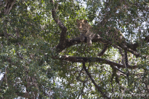 Leopard (Panthera pardus) observing from a branch, Masai Mara National Reserve, Kenya