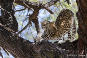 Leopard (Panthera pardus) stretching on a branch, Khwai Concession, Botswana