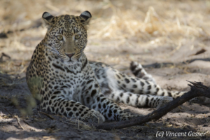 Leopard (Panthera pardus) laying on the ground, Khwai Concession, Botswana