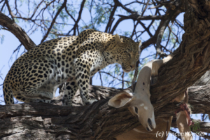 Leopard (Panthera pardus) looking at a kill in a tree, Khwai Concession, Botswana