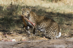 Leopard (Panthera pardus) grabbing a kill on the ground, Khwai Concession, Botswana