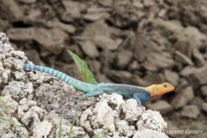 Agama Lizard (Agama agama) sunbathing on the rocks of Mombasa, Kenya