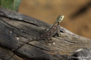 Female Agama Lizard (Agama agama) observing from branch, Namunyak Wildlife Conservancy, Kenya