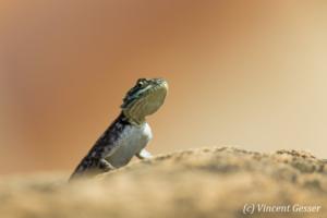 Female Agama Lizard (Agama agama) observing from a stone, Namunyak Wildlife Conservancy, Kenya, 1