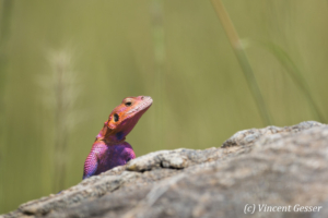Male Agama Lizard (Agama agama) on alert, Masai Mara National Reserve, Kenya, 4