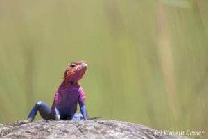 Male Agama Lizard (Agama agama) on alert, Masai Mara National Reserve, Kenya, 5