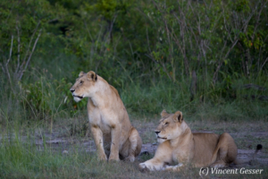 Two Lions (Panthera leo) observing, Masai Mara National Reserve, Kenya