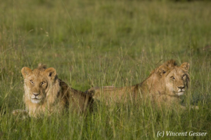 Two young Lion (Panthera leo) brothers, Masai Mara National Reserve, Kenya