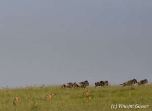 Lions (Panthera leo) scaring wildebeasts (Connochaetes) and Thomson gazelles (Eudorcas thomsonii), Masai Mara National Reserve, Kenya