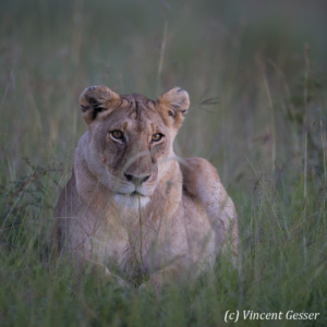 Lion (Panthera leo) portrait at dawn, Masai Mara National Reserve, Kenya
