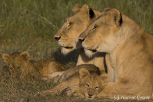 Lion (Panthera leo) cub sleeping on mother's paws, Masai Mara National Reserve, Kenya