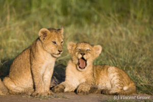 Two young Lion (Panthera leo) cubs, one yawning, Masai Mara National Reserve, Kenya