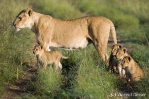 Lion (Panthera leo) and cubs observing, Masai Mara National Reserve, Kenya
