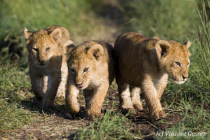 Three Lion (Panthera leo) cubs walking, Masai Mara National Reserve, Kenya