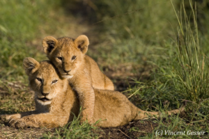 Two Lion (Panthera leo) cubs playing, Masai Mara National Reserve, Kenya