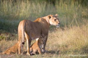 Mother Lion (Panthera leo) with two cubs, Masai Mara National Reserve, Kenya