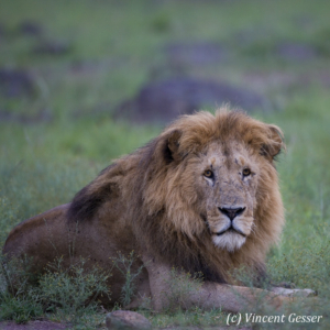Old Lion (Panthera leo) portrait, Masai Mara National Reserve, Kenya