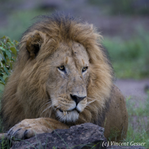 Old Lion (Panthera leo) portrait with broken tooth, Masai Mara National Reserve, Kenya