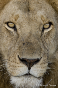 Close up Lion (Panthera leo) portrait, Masai Mara National Reserve, Kenya