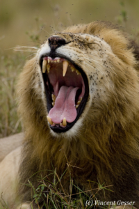 Lion (Panthera leo) yawning and chasing flies, Masai Mara National Reserve, Kenya