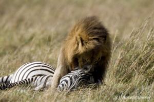 Lion (Panthera leo) pulling a zebra (Equus quagga burchellii) kill, Masai Mara National Reserve, Kenya
