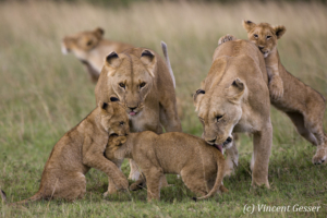 Lions (Panthera leo) and cubs playing, Masai Mara National Reserve, Kenya