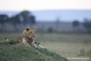 Young Lion (Panthera leo) observing from termite mound, Masai Mara National Reserve, Kenya
