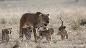 Lion (Panthera leo) walking in the mid day heat with cubs, Masai Mara National Reserve, Kenya