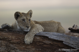 Young Lion (Panthera leo) observing from a fallen tree, Tarangire National Park, Tanzania