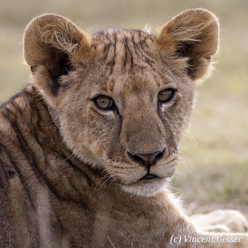 Lion (Panthera leo) portrait, Tarangire National Park, Tanzania