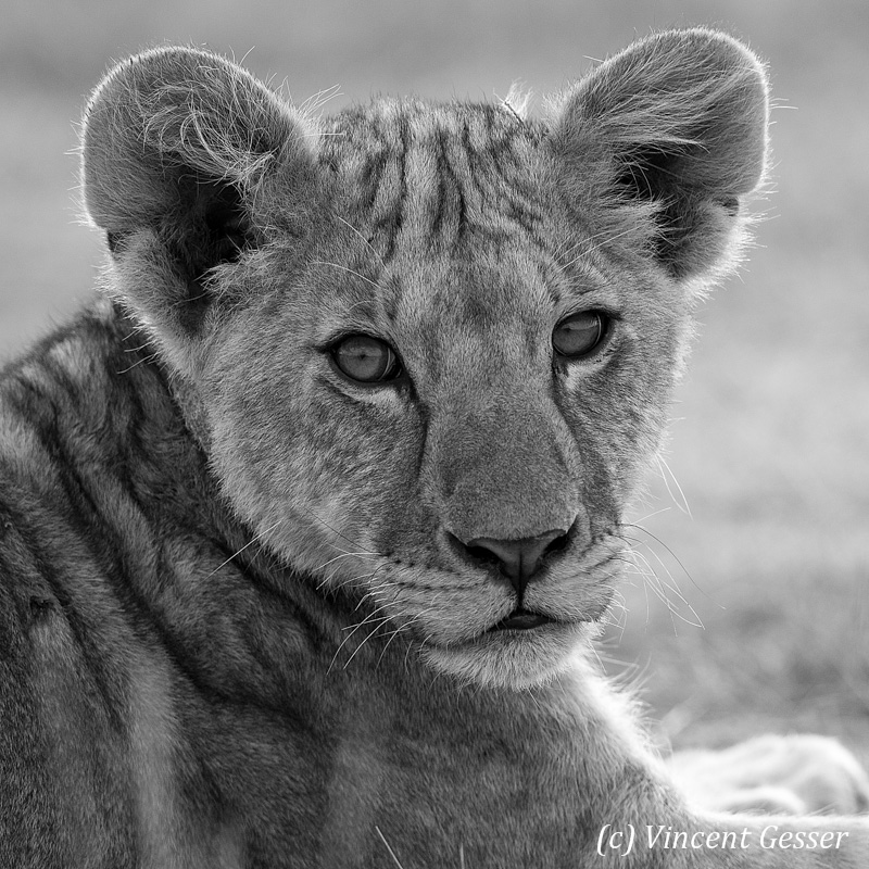 Lion (Panthera leo) portrait in black and white, Tarangire National Park, Tanzania