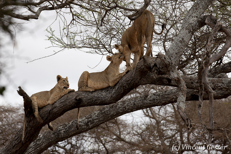 Lions (Panthera leo) greeting on a branch, Tarangire National Park, Tanzania