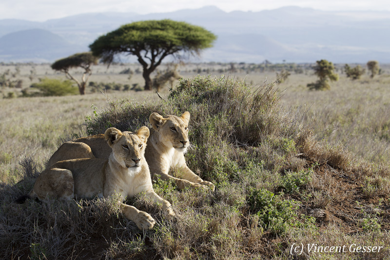 Two Lions (Panthera leo) observing from a termite mound, Lewa Conservancy, Kenya