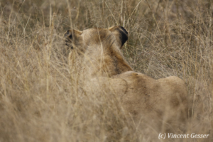 Lion (Panthera leo) ambushed, Masai Mara National Reserve, Kenya
