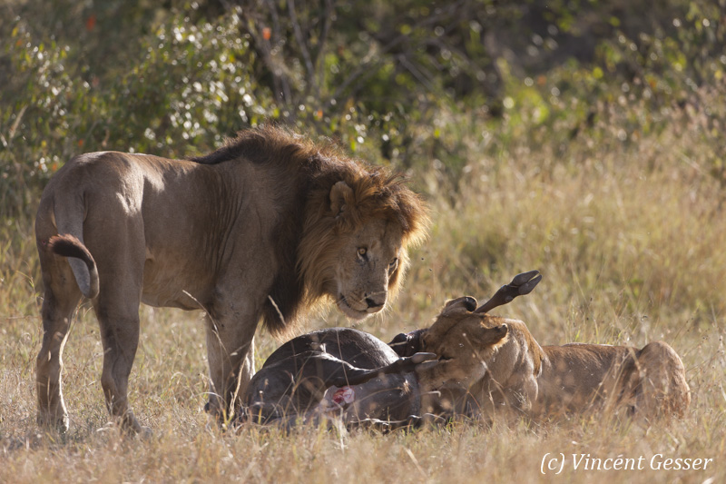 Lions (Panthera leo) around a fresh kill, Masai Mara National Reserve, Kenya