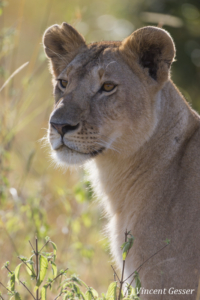 Lion (Panthera leo) portrait, Masai Mara National Reserve, Kenya