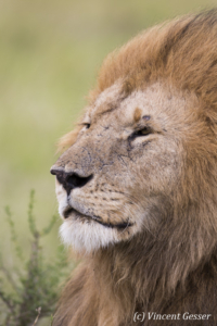 Lion (Panthera leo) portrait, Masai Mara National Reserve, Kenya, 1