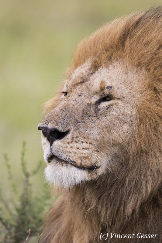 Lion (Panthera leo) portrait, Masai Mara National Reserve, Kenya, 1