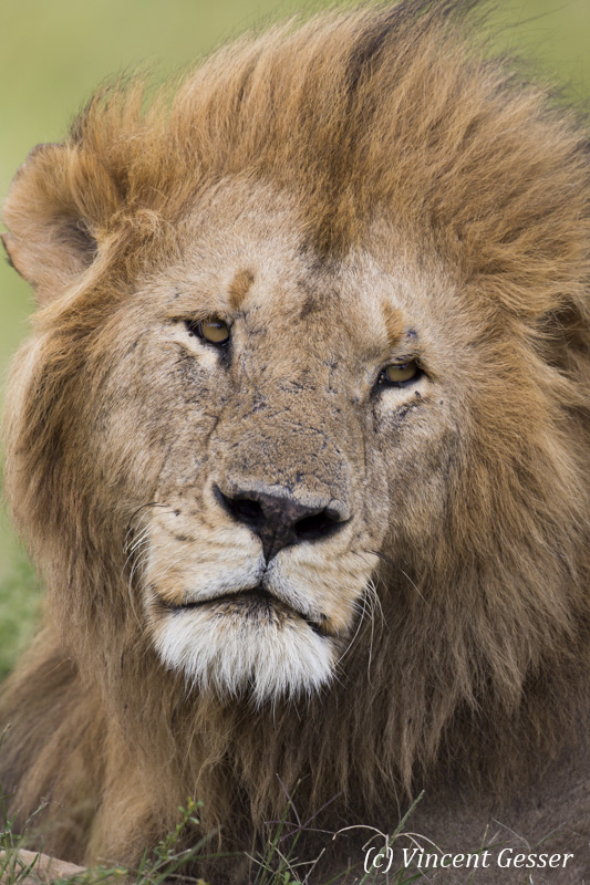 Lion (Panthera leo) portrait, Masai Mara National Reserve, Kenya, 2