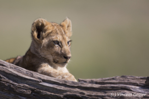 Young lion (Panthera leo) portrait, Masai Mara National Reserve, Kenya