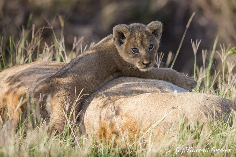 Young lion (Panthera leo) on his mother, Masai Mara National Reserve, Kenya