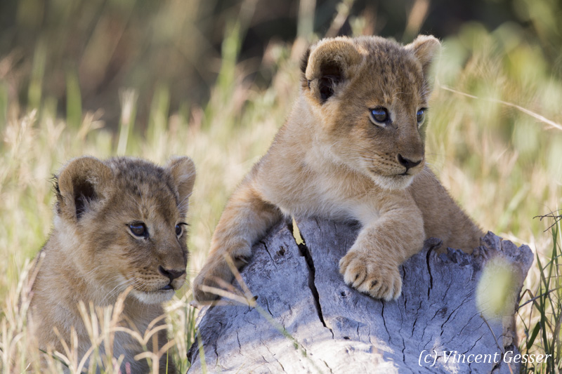 Two young lions (Panthera leo) watching from a trunk, Masai Mara National Reserve, Kenya, 2
