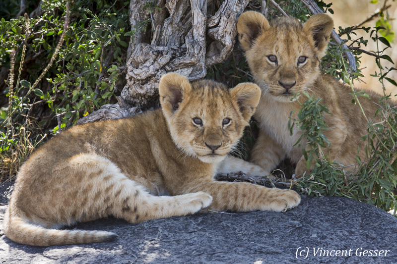 Two lion cubs (Panthera leo) watching, Masai Mara National Reserve, Kenya